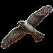 Item northerngoshawk 01
