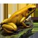 Item goldenpoisonfrog 01