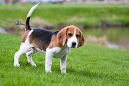 Beagle-2