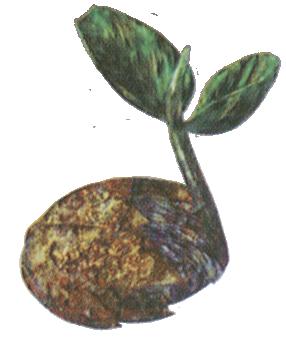 File:AF Golden Seed (LoM Artwork).png
