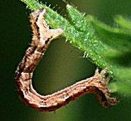 File:Inchworm-animal.jpg