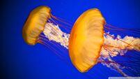 Atlantic sea nettle jellyfish-wallpaper-960x540