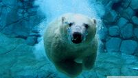 Polar diving-wallpaper-960x540