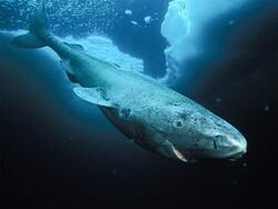 Greenland shark no text
