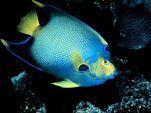 Queen-angelfish 674 600x450