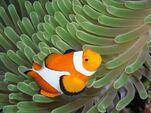 Colorful03-clownfish 17427 600x450