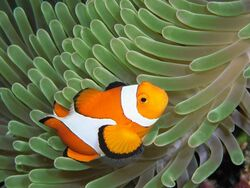 Colorful03-clownfish 17427 600x450