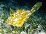 Unicorn fish - underwater wallpapers
