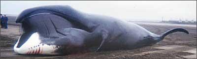 File:Bowhead whale.jpg