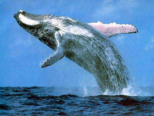 File:Humpback whale margaret river.jpg