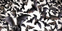 Bats/Gallery