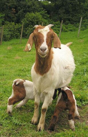 File:Goats.jpg