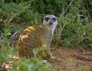 Meerkats Divided - Bandit the Rover