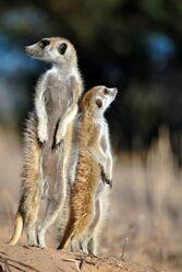 Two Zulus Meerkats