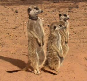 Eleusine and two other meerkats