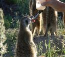 Kalahari Meerkat Project: Meerkat Habituation