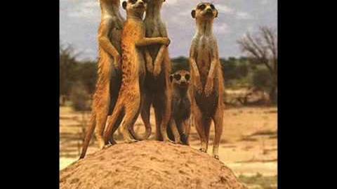Funny Meerkats xD