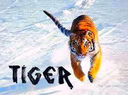 Tiger².jpg