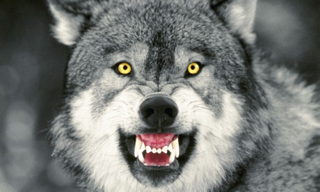 File:Snarling-Gray-Wolf-006.jpg
