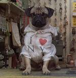 Frank-the-pug SS 01
