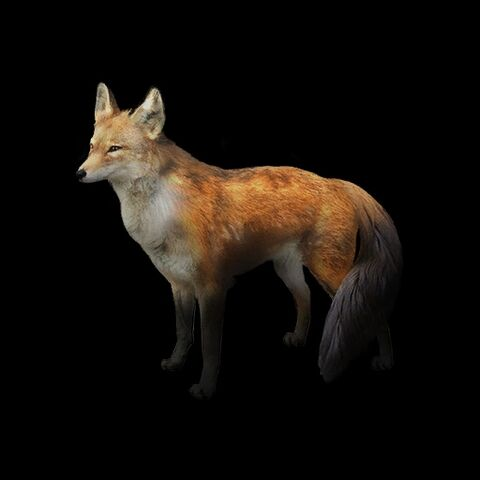 File:Red Fox.jpg