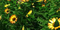Sunflower Variant