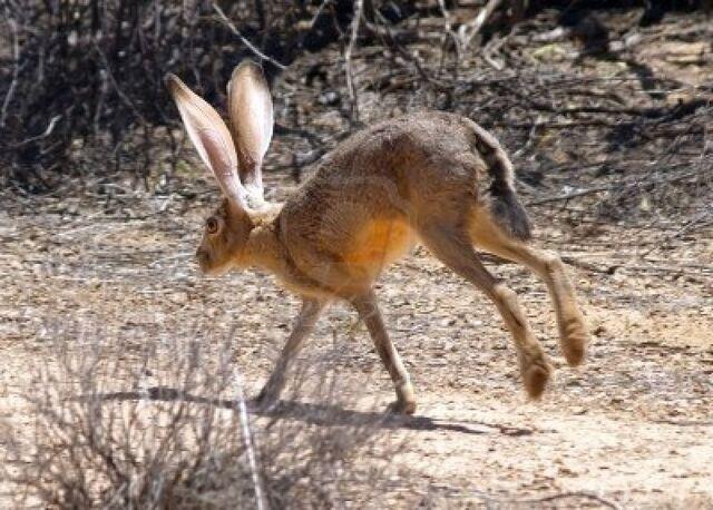 File:Hare henadsa.jpg