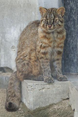File:Tsushima Cat 001.jpg