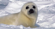 North-Harp-Seal-Watch-1-ice-seal