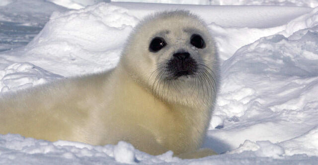 File:North-Harp-Seal-Watch-1-ice-seal.jpg