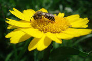 Hornetcornmarigold
