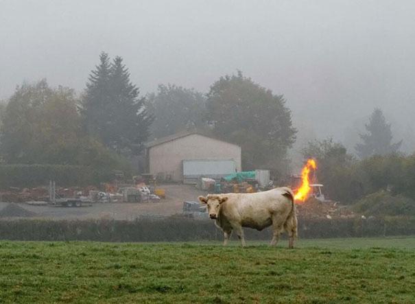 File:Cow fart.jpg