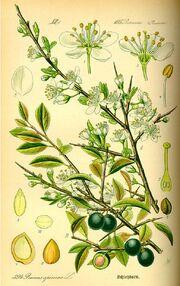 Schlehdorn Prunus spinosa thome flora p.518