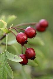 Weißdorn (Crataegus) Früchte.jpg