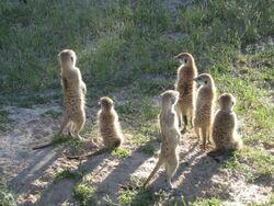 Mongoose Mob
