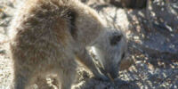 Meerkat Team