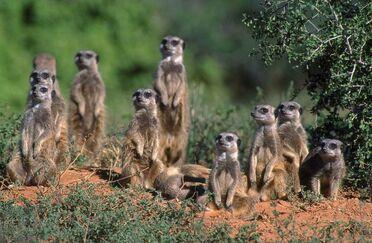 Meerkats-011
