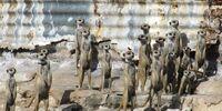 Harlequin Mob