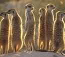 Meerkats' Meerkat Manor