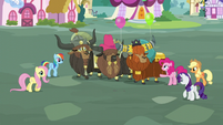 Pinkie's friends gathering around the yaks S5E11