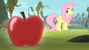 Fluttershy looking at an apple S4E07.png