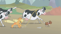 Applejack lassoes a cow S1E04.png