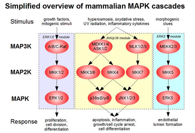 File:800px-MAPK-pathway-mammalian.png