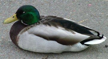 File:Duck-on-ground.jpg