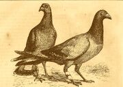 Method of attaching messages to carrier pigeons