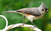 Helmet Bird Ancestor