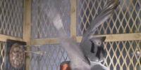Gladys (pigeon)