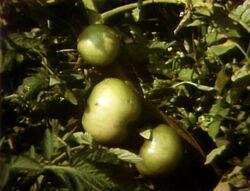 1454-Tomato
