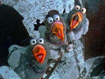 Mcc-pigeons