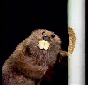 File:Beaver.jpg